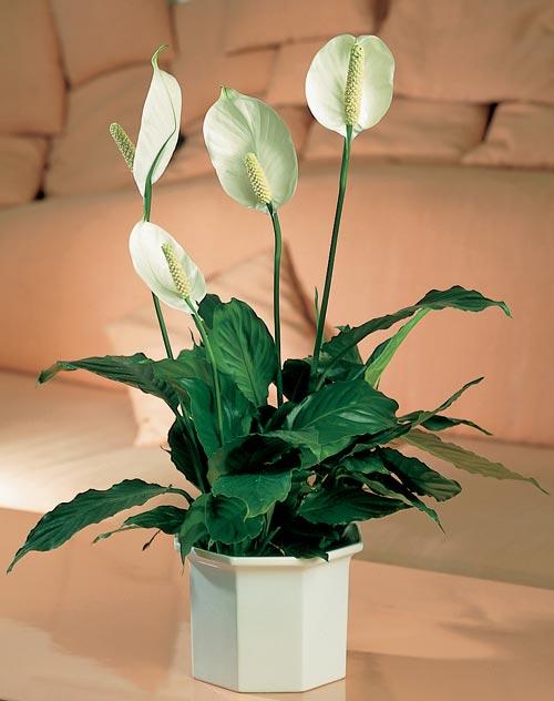 Cây hoa Lan Bạch Môn
